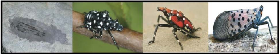 SPOTTED LANTERN FLY life stages - SEE IT, REPORT IT - Spotted Lantern Fly