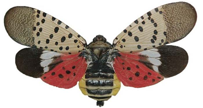 SPOTTED LANTERN FLY - SEE IT, REPORT IT - Spotted Lantern Fly